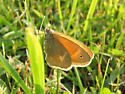 Brown Butterfly - Coenonympha tullia