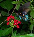 Blue Flashes - Battus philenor - male