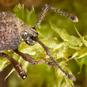 Weevil? - Otiorhynchus porcatus
