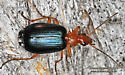 Unknown - Lebia atriventris