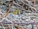 Ground Yellowjacket nest - Vespula
