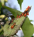 Which Milkweed Bug Species? - Oncopeltus fasciatus