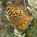 Callippe Fritillary - Speyeria callippe - female