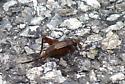 Insect 908-1 - Allonemobius allardi - female