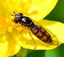 Toxomerus? syrphid fly - Melanostoma mellinum