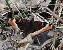 Milbert's Tortoiseshell (Aglais milberti) - Aglais milberti