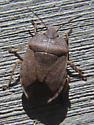 True Bug - Menecles insertus
