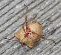 bug - Euschistus conspersus