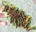 Many Caterpillars on leaf. - Schizura concinna