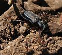 Cremastocheilus - Cremastocheilus lengi