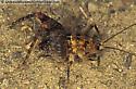 Camel Cricket - Pristoceuthophilus - male