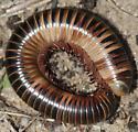 Mystery millipede