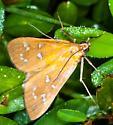 Common Moth are here... - Diastictis argyralis