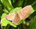 moth - Leptostales crossii