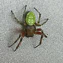 Anchorage Alaska spider - Araniella proxima