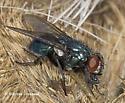 Blow Fly - Phormia regina