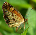 Orange and brown butterfly - Phyciodes tharos