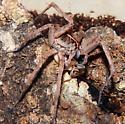 wolf Spider male - Tigrosa georgicola - male