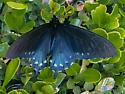 California Pipevine Swallowtail - Battus philenor