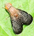 Fruit Flies Eutreta noveboracensis - Eutreta noveboracensis