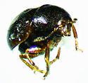 Euxenus punctatus