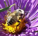 bee - Megachile latimanus