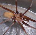 Southern House Spider pic #1 - Kukulcania hibernalis