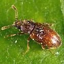 Tiny Beetle - Cryptophagus