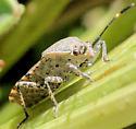 Heteroptera - Catorhintha guttula - Catorhintha guttula
