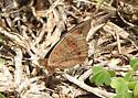butterfly closed-wing - Junonia coenia