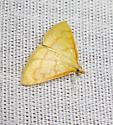 Yellow moth - Helvibotys helvialis