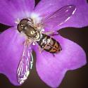 Small Syrphid Fly? - Toxomerus marginatus