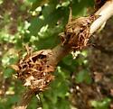 Andricus quercusfrondosus