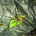 Penultimate Male Six-spotted Fishing Spider - Dolomedes triton - male