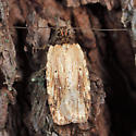 moth - Agonopterix atrodorsella