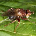 Unknown Fly - Myopa