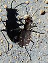 Twelve spotted tiger beetle - Cicindela duodecimguttata