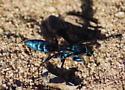 blue wasp - Aporus