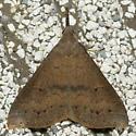 renia moth - Renia adspergillus - female