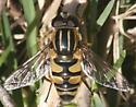 Syrphid - Helophilus fasciatus - male