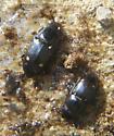 small beetles under compost pail - Glischrochilus siepmanni