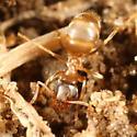 Lasius - Lasius neoniger - female