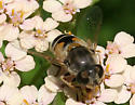 Which fly is this, please? - Eristalis arbustorum