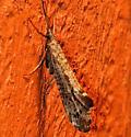 Neophylax splendens - Neophylax