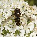 Small, hairy syrphid
