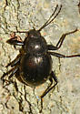 beetle061818OR - Meracantha contracta