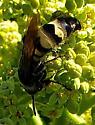 Dielis plumipes
