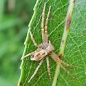 running crab spider - Philodromus