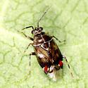 Plant Bug - Deraeocoris poecilus