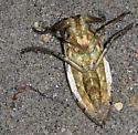 giant water bug (water beetle) - Lethocerus americanus